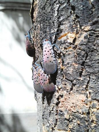 但近年来银川市各老旧小区树木修剪及虫灾问题日益突出,园林部门也在
